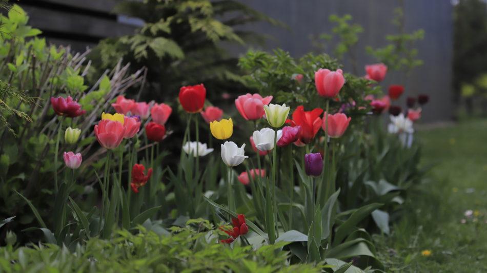 dažādu krāsu tulpes